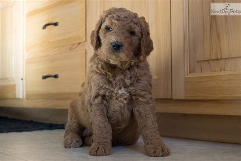 goldendoodle puppies youngstown ohio handsome goldendoodle puppy for sale near youngstown