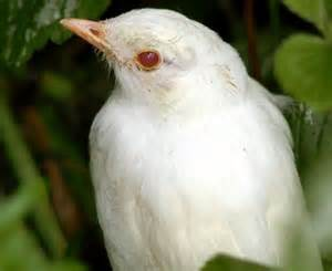 why are albinos blind animals