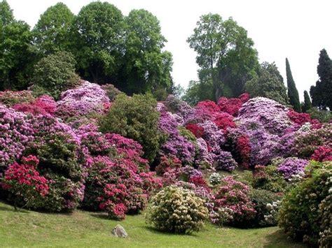 fiore rododendro rododendro malattie piante da giardino pianta