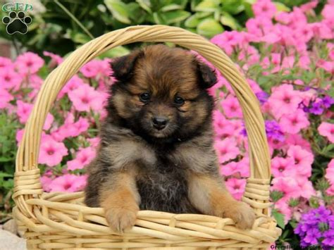 designer puppies for sale 17 best images about designer mixed breeds on