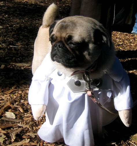 pug doctor dr pug is in the building about pug