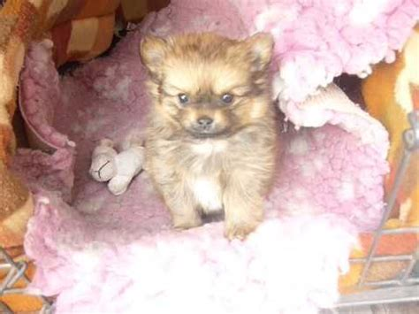pomchi puppies pomchi pomeranian chihuahua mix info temperament puppies pictures