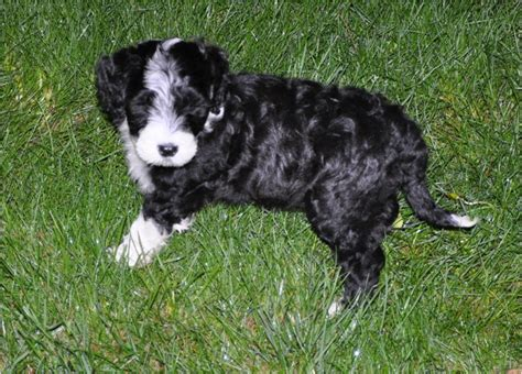 portuguese water puppies price portuguese water rescue puppies breeders temperament price animals breeds