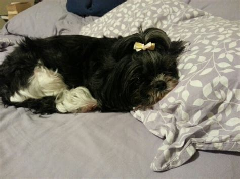 my shih tzu doesn t want to eat four year cake day here s my ten year shih tzu just lounging on the bed aww