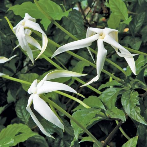 fragrant flowering plants of the randia ruiziana fragrant plants