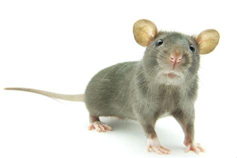 Imagenes De Ratas Halloween | 191 qu 233 significa so 241 ar con ratas y ratones sue 241 o