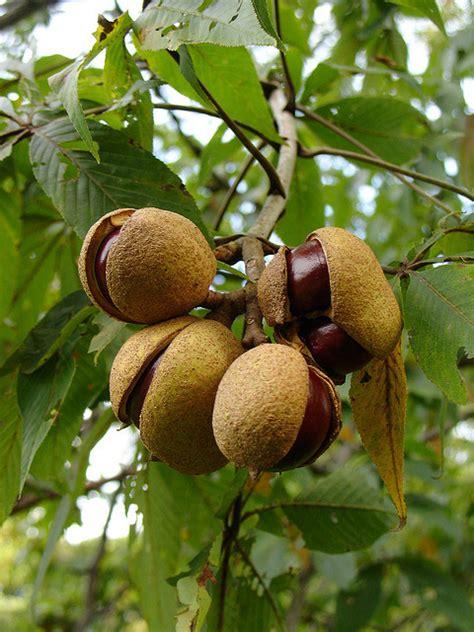best fruit trees for ohio ohio state tree ohio buckeye