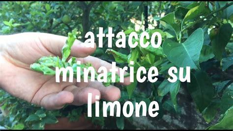 malattie piante limoni in vaso malattie pianta limone minatrice diagnosi e cura info