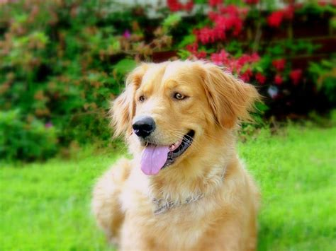 golden retriever information and facts golden retriever breed information puppies pictures