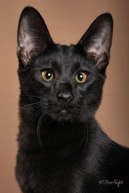 black savannah cat beautiful savannah cats and awesome on pinterest