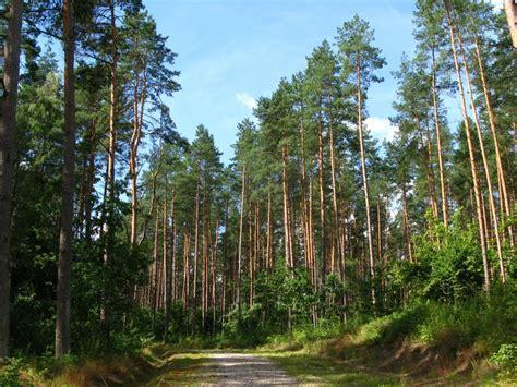 manfaat pohon pinus untuk kesehatan dan industri satu jam