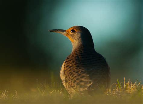 northern flicker portrait woodpecker photo from smelt