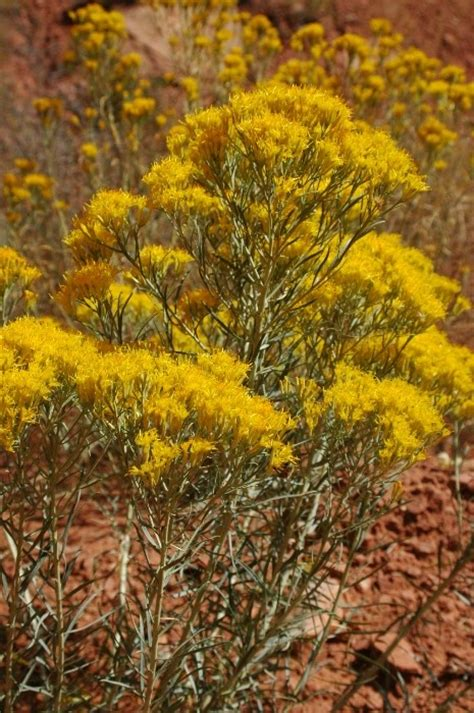 wildflowers that bloom in the fall rubber rabbit bush always yellow flowers this is a