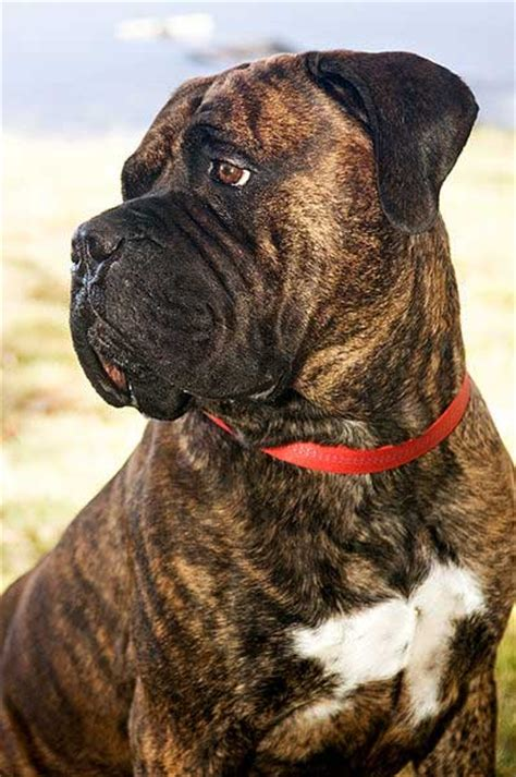 how much are bullmastiff puppies how to bullmastiff puppy ears