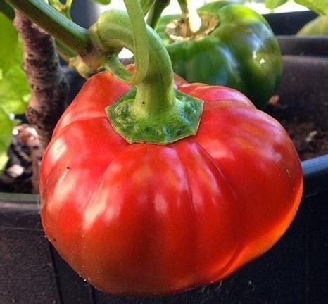 Benih Paprika Merah cara menyemai bibit paprika bibit