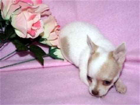 chihuahua puppies for sale in knoxville tn chihuahua puppies in tennessee