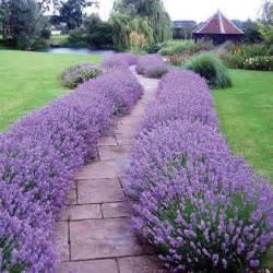17 best ideas about lavender hidcote on pinterest purple