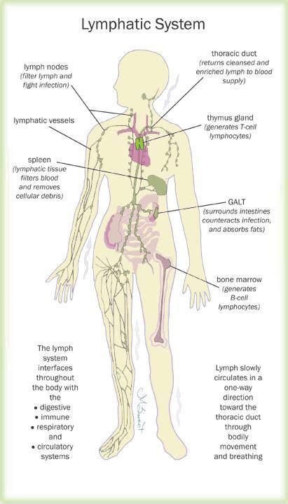 self breast diagram immunity the lymphatic system is circulation