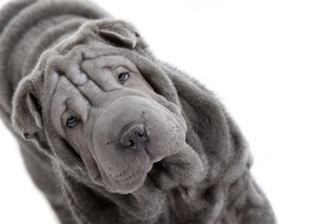 grey shar pei puppy community arts manchester shar pei grey pictures free for mobile