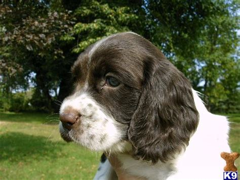 field spaniel puppies for sale field springer spaniel puppies for sale image search results