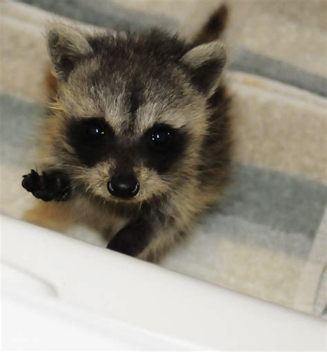 baby marder 411 raccoon solutions 411 wildlife assistance for