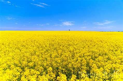 Sketch Windows rapeseed field in bloom anthony ks by bvilleweatherman