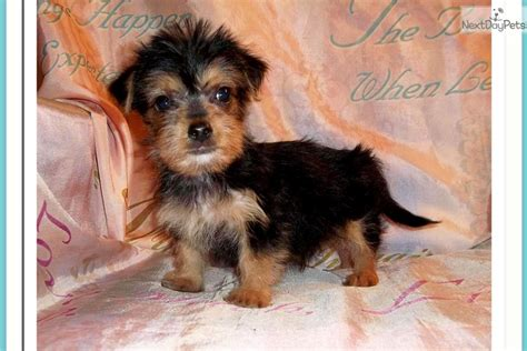 best haircut for a chorkie chorkie grooming pin chorkie breed on pinterest