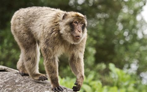 monkey wallpaper for walls monkey full hd wallpaper and background image 1920x1200