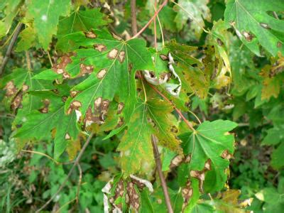 maple tree diseases diagnosing and treating common problems of trees