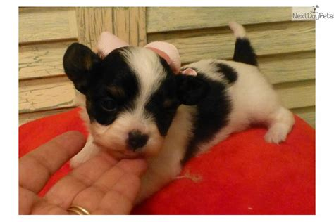chion puppies for sale meet lola a chihuahua puppy for sale for 700 chion baby lola