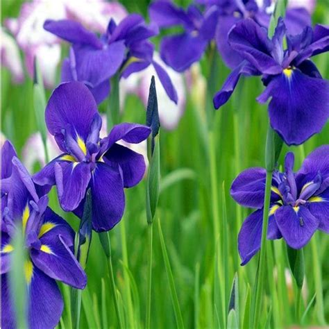 Butterfly Iris Blue T1310 3 the beautiful flowers and seeds of blue butterfly iris seeds bonsai plant seed vitality family