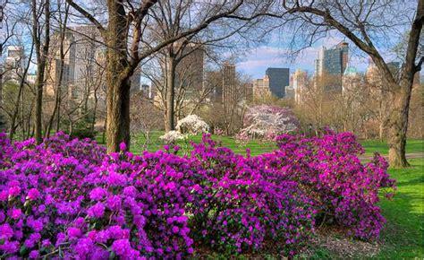 alberi fioriscono in primavera le attivit 224 di central park a new york city durante l