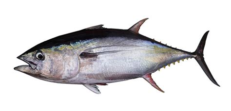 tuna industry calls for cut in yellowfin tuna catch