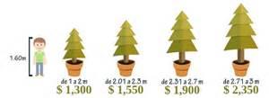 arboles de navidad vivos renta de 225 rboles navide 241 os vivos
