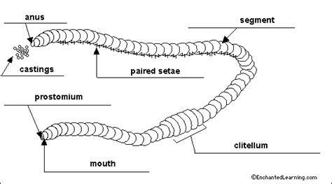 earthworm diagram earthworm labelled diagram www pixshark images galleries with a bite
