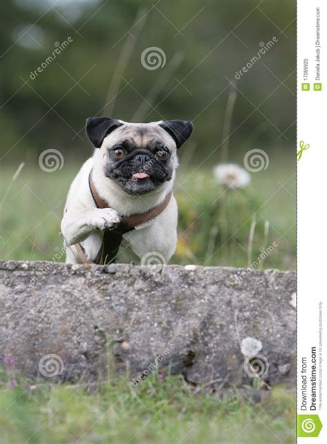 jumping pug jumping pug stock photo image 17069920