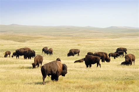 Of Buffalo Mba Cost by The American Bison Is Finally Our New National Mammal