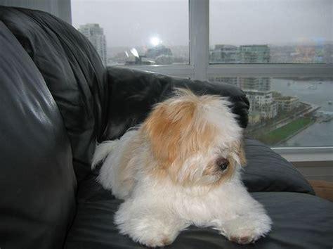 havanese kutya bemutatjuk a k 246 nnyen nevelhető kutyafajt 225 214 r 246 kbefogad 225 s v 225 s 225 rl 225 s