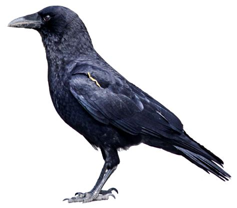 A Murder Of Crows the antilles a murder of crows