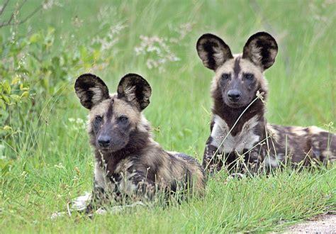 dogs in africa dooming dogs and digital downloads andreessen horowitz