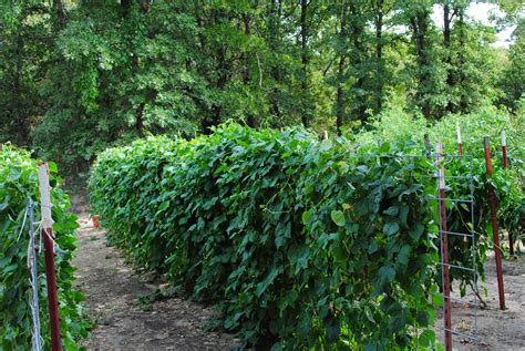 growing green beans sgs