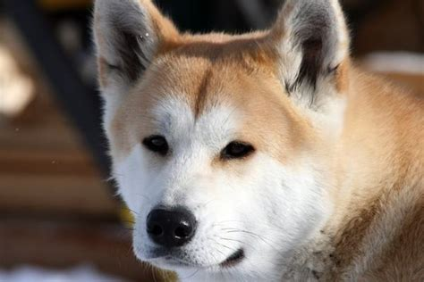 Companheiros Leais Ra 231 A De Cachorro Akita Caracter 237 Sticas Pre 231 O Fotos