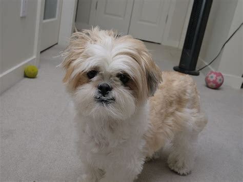 shih tzu grooming products our products grooming lhasa apsos and shih tzus breeds picture