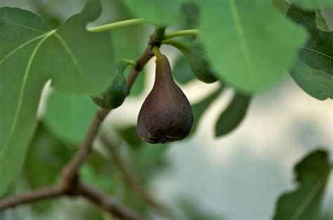 best fig small figs on tree why a fig tree produces small figs