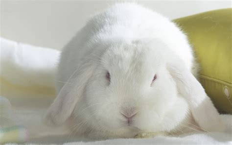 White Rabbit Hd Animals White Rabbit Wallpaper