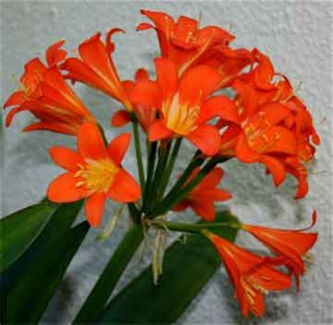 how to care and grow clivia plant plus video