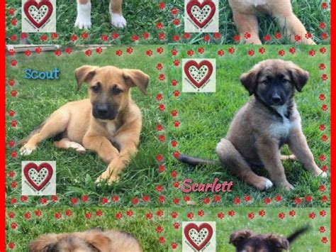 puppies st charles il shepherd mix puppies available 4 adoption st charles il patch