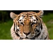 Bengal Tiger Desktop 1920x1080 WallpapersTiger Wallpapers