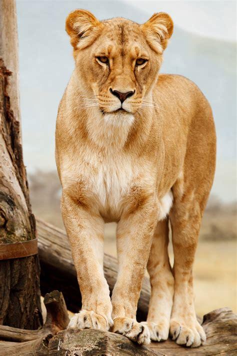 portrait of lioness free stock photo public domain pictures
