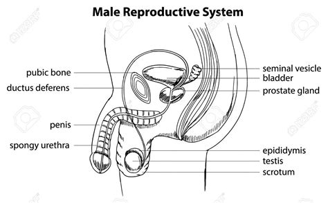 diagram of reproductive system draw and label the reproductive system human